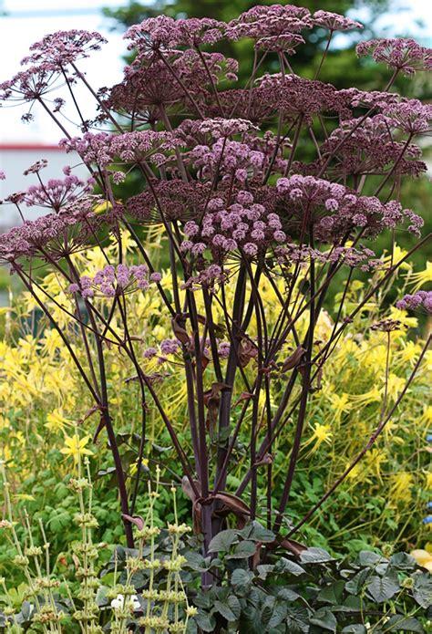 angelica stricta purpurea buy   annies annuals