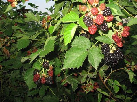 coltivare more in vaso more senza spine piante da frutto coltivare more