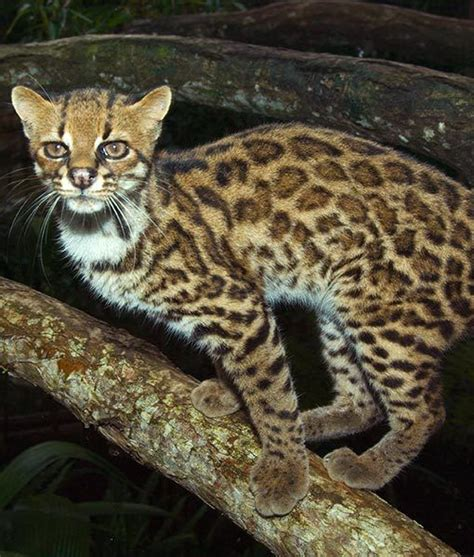 exotic house cats 1000 images about smaller wild cats oncillas on pinterest cats south america and