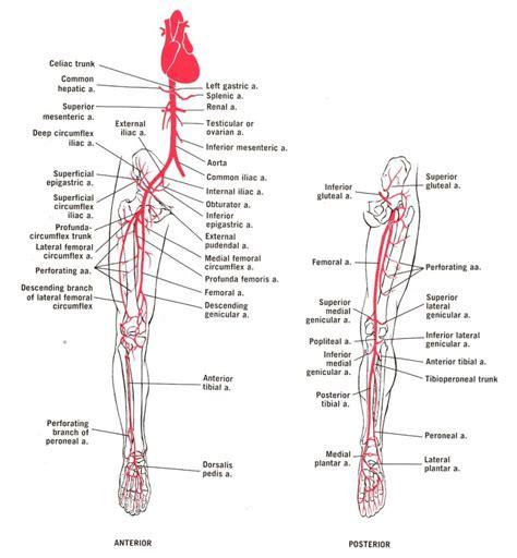 arteries diagram leg vascular anatomy human anatomy diagram