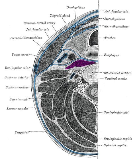 transverse section definition prevertebral muscles wikipedia