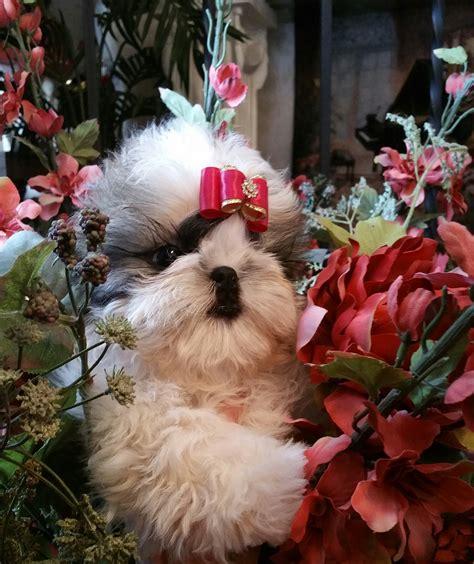 show quality shih tzu buy show quality shih tzu puppy shih tzu puppies for sale