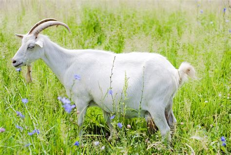 new year goat ram sheep new year animals sheep or goat 28 images image gallery