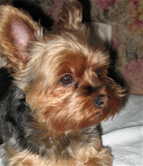 yorkie puppy facts yorkie puppy information and facts photo