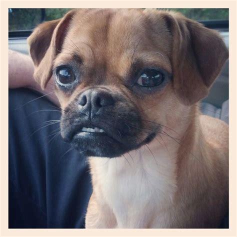 chug puppies 25 best ideas about chug on pug chihuahua