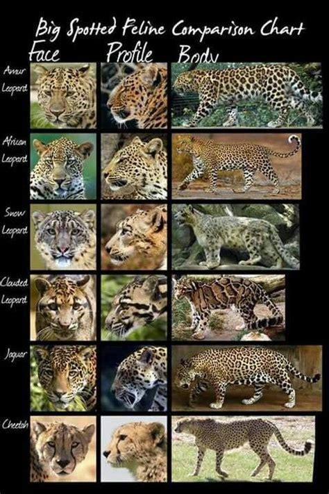 big spotted feline comparison chart wild cat species cat species wild cats