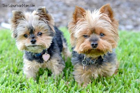 best toys for yorkies alpo 174 says happy starts here thesuburbanmom