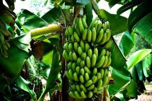 what is a banana the garden of eaden