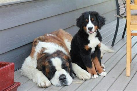 st bernese mountain puppy discover and save creative ideas