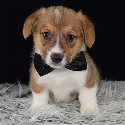 corgi puppies for sale in ct corgi puppy for sale cashew puppies for sale in pa dc de va ct
