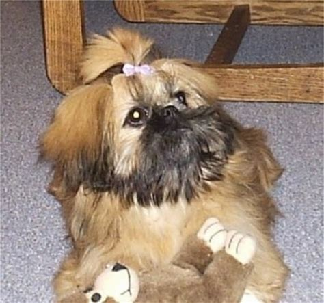 pekingese and shih tzu mix puppies pekingese shih tzu chihuahua mix breeds picture