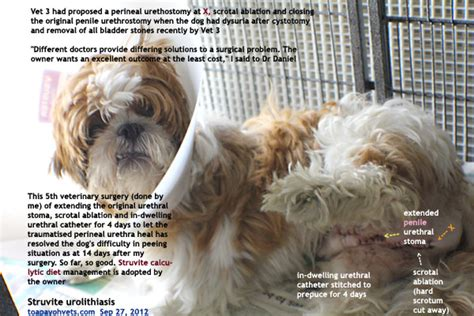 where did shih tzu come from veterinary medicine surgery singapore toa payoh vets dogs cats rabbits guinea