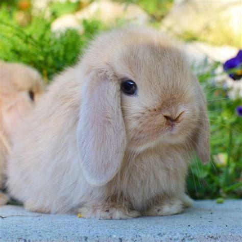 alimentazione coniglio nano ariete cuccioli disponibili la stalla dei conigli allevamento e
