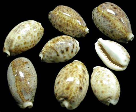 cowrie shell opinions on cowry
