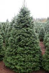 best prices on fresh cut trees 9 best images about fresh trees on trees trees and oregon