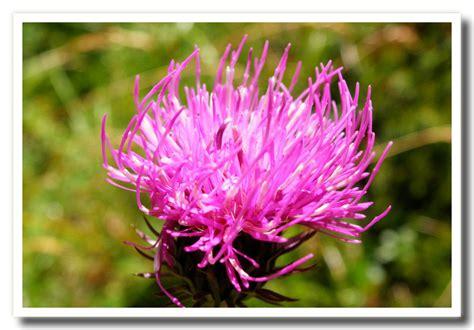 nomi fiori di montagna fiori di primavera