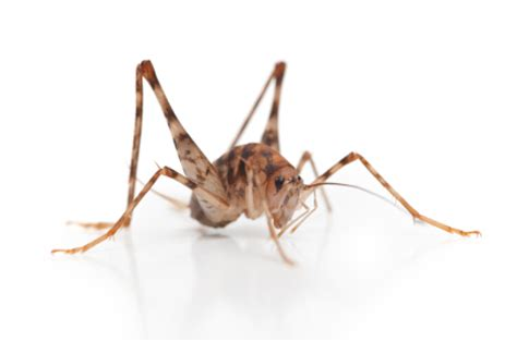 how to get rid of camel crickets in your house pest