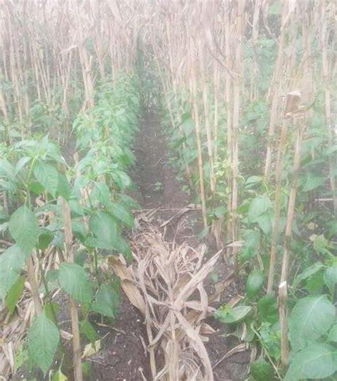 Bibit Jagung Dk 95 14 tips cara menanam tumpangsari jagung dan cabai rawit