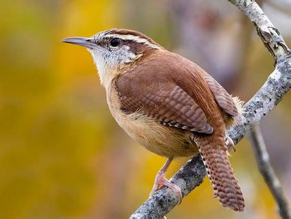 carolina wren identification all about birds cornell