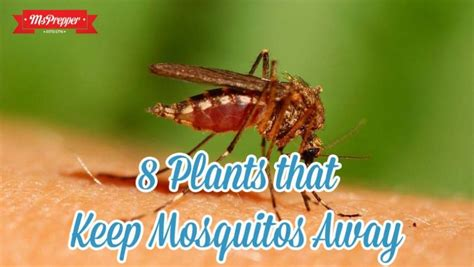 plants that keep mosquitoes away 8 plants that keep mosquitoes away msprepper