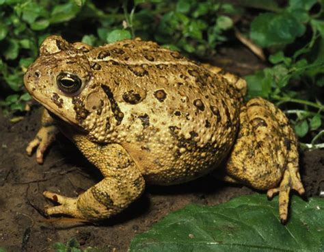 Louis Sullivan by Eastern American Toad Mdc Discover Nature