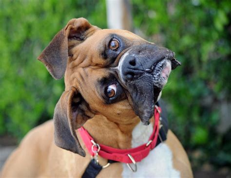 boxer puppy rescue featured dodger needs a forever home west coast boxer rescue