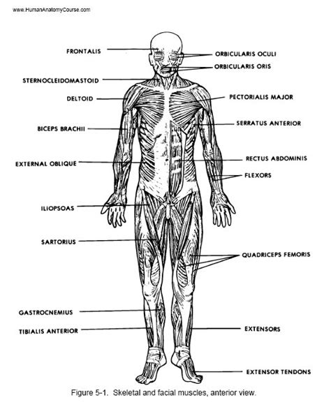 muscular system diagram labeled 248 the 1 human anatomy and physiology course 248 learn