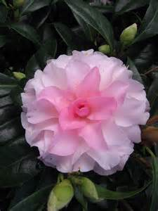 Small Summer Flowering Shrubs - camellia japonica buttons n bows warners nurseries