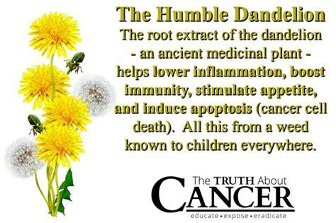 Side Effects Of Dandelion Root Detox by 25 Best Ideas About Dandelion Root Tea On