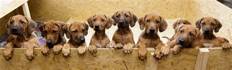 oregon live puppies rhodesian ridgeback gives birth to 17 yes 17 healthy puppies oregonlive