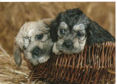 dandie dinmont terrier breed guide learn