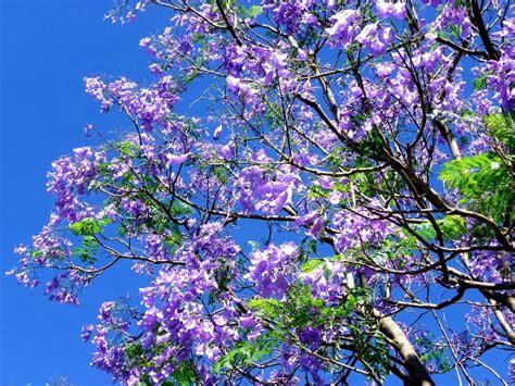 Imagenes De Flores Jacaranda | hermosa jacaranda un toque de color para tu jard 237 n