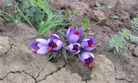 romagna romagna in fiore zafferano in fiore bagnara di romagna ra 2017 emilia