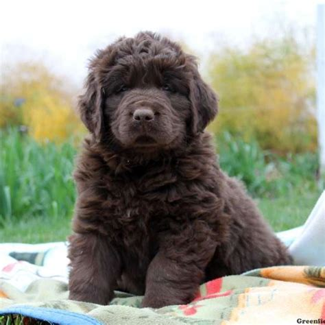 newfie puppies newfoundland puppies for sale newfy breed profile greenfield puppies