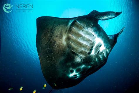 inmersion de neren diving komodo manta pointmakassar