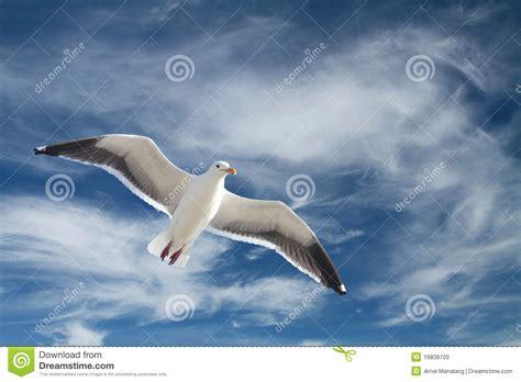 il volo gabbiano gabbiano durante il volo fotografie stock immagine 16838703