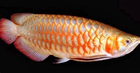 Pakan Alternatif Ikan Koki tips merawat ikan hias fish and aquarium tips merawat