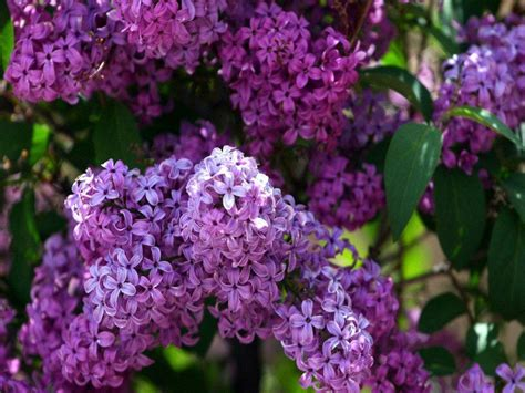 purple lilacs lilac wallpapers wallpaper cave