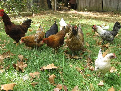 feeding chickens for health and the best eggs