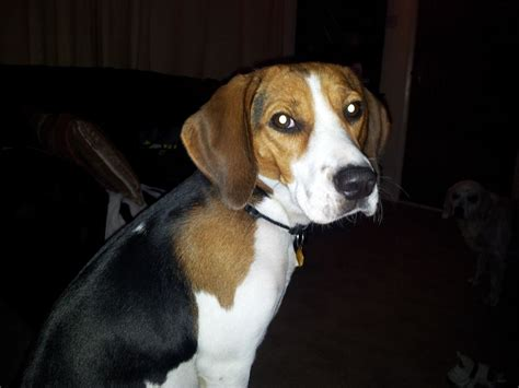 beagle for sale beagle for sale bicester oxfordshire pets4homes