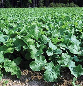amazoncom  dirty gardener  pounds brassica napus