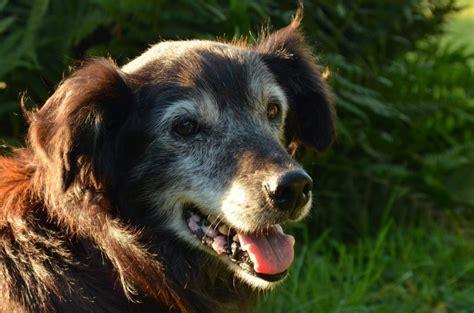 cognitive dysfunction in dogs dementia cognitive dysfunction canna pet