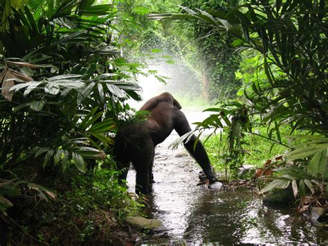 Cross River Gorillas Habitat Picture And Images