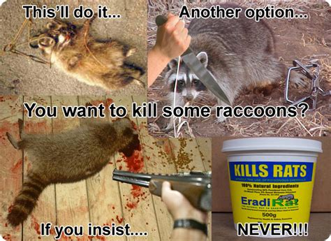 kills raccoon how to kill raccoons poisons shooting lethal grip traps etc