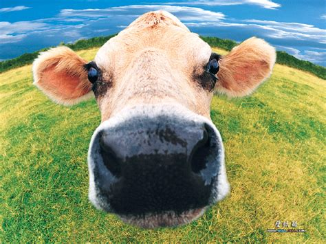 are you a cow summy s yummies vegan fun facts