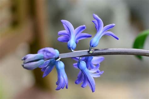 fiori di giacinto il fiore giacinto fiori piante fiori di giacinto