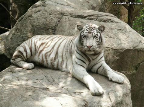 white tiger pictures tiger wallpapers white tiger on rocks wallpaper