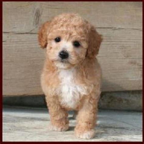 bichon poodle mix puppies poo poochon bichon poodle puppies for sale iowa