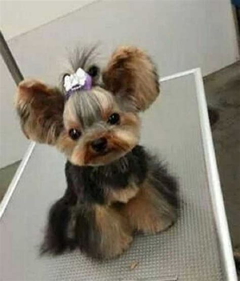 different hair cuts for toy yorkies cute yorkie cut yorkie hair do s pinterest yorkie
