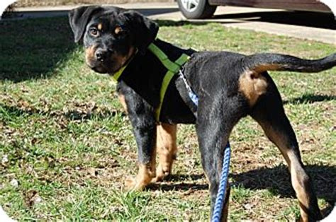 catahoula rottweiler mix sully adopted puppy nc catahoula leopard rottweiler mix